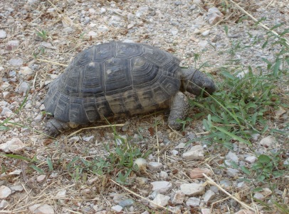 Tortoise. Athens. ©AlisonInnes